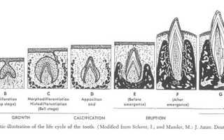 Внутриутробное развитие человека