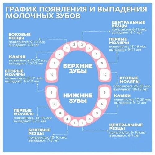 Первые зубы у младенцев во сколько лезут или какие зубы лезут первыми (нижние или верхние) и в каком возрасте