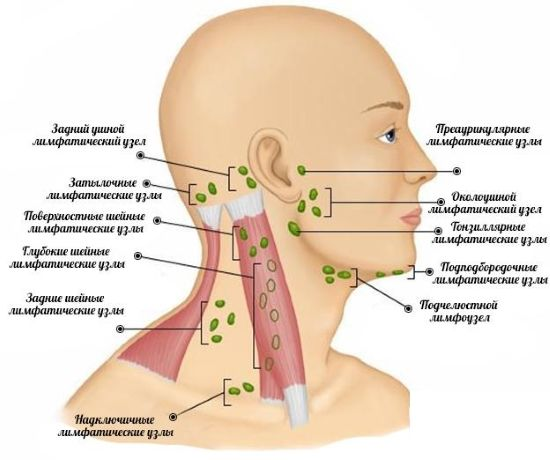 Где расположены лимфоузлы на шее у ребенка и почему лимфоузел на шее у малыша может быть увеличен: причины, симптомы, лечение и диагностика