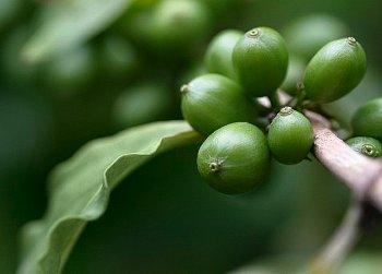 Зеленый кофе для похудения: как выбрать зеленый кофе